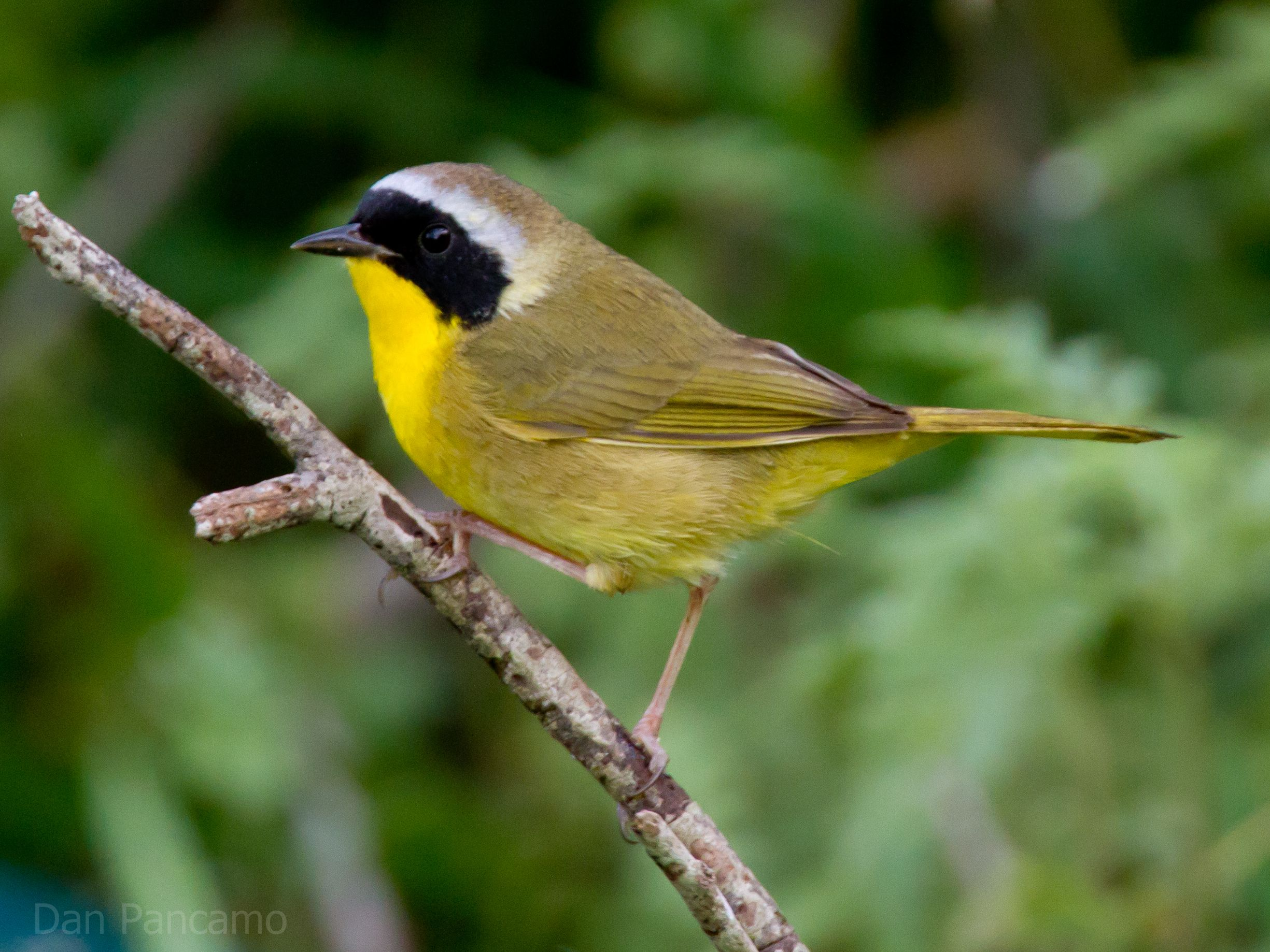 Common yellow throated warbler